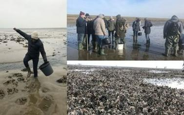 Oyster harvesting at the UNESCO World Heritage Wadden Sea National Park, Denmark(Photo collage: Eva Duedahl)